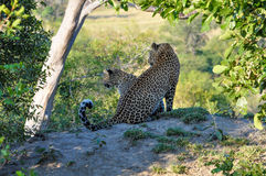Two Leopard closeup Bookends Stock Photo