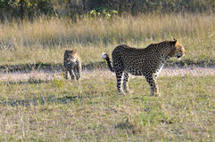 Two Leopard closeup Royalty Free Stock Image