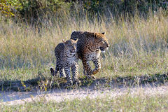 Two Leopard closeup Stock Photography