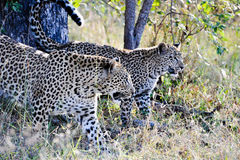 Two Leopard closeup Royalty Free Stock Images