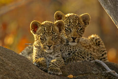 Two Leopard cubs. On a limb in Africa Stock Image