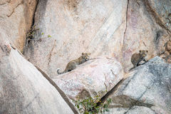 Two Leopard cubs on the rocks. stock photo