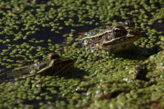 Two Leopard Frogs Royalty Free Stock Photos
