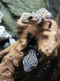 Two Leopard Geckos Stock Photography