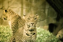 Two Leopard Illustration Royalty Free Stock Image