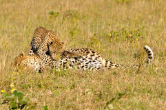 Two Leopard Playing Royalty Free Stock Photo