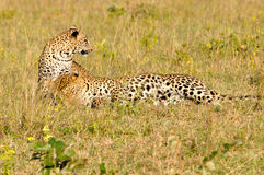 Two Leopard Playing Stock Photo