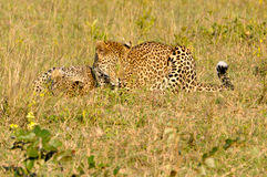 Two Leopard Playing Royalty Free Stock Photos