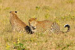 Two Leopard Playing Royalty Free Stock Images
