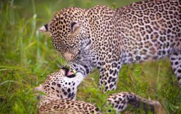 Two leopard playing in savannah. Couple of leopards (Panthera pardus) playing with each other in savannah in nature reserve in South Africa. Grass infront of the Stock Photos