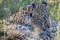 Two Leopards bonding in Kruger. Two Leopards bonding in the Kruger National Park, South Africa Royalty Free Stock Photo