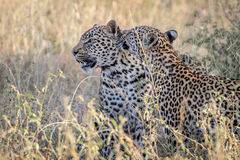 Two Leopards bonding in Kruger. Two Leopards bonding in the Kruger National Park, South Africa Stock Photography