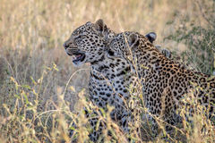 Two Leopards bonding in Kruger. Two Leopards bonding in the Kruger National Park, South Africa Stock Photos