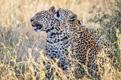 Two Leopards bonding in Kruger. Two Leopards bonding in the Kruger National Park, South Africa Royalty Free Stock Images