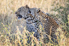Two Leopards bonding in Kruger. Two Leopards bonding in the Kruger National Park, South Africa Royalty Free Stock Photography