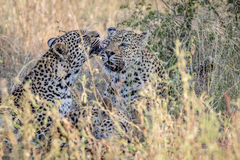 Two Leopards bonding in Kruger. Two Leopards bonding in the Kruger National Park, South Africa Stock Image