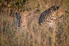 Two Leopards bounding in the grass. Royalty Free Stock Images