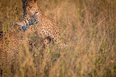 Two Leopards bounding in the grass. Stock Photo