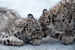 Two leopards caressing Stock Photos