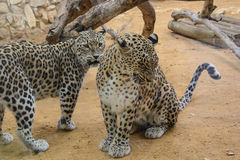 Two Leopards closeup Royalty Free Stock Image