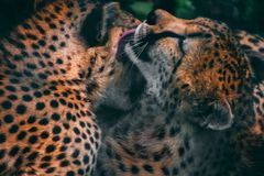 Leopards grooming each other royalty free stock photos