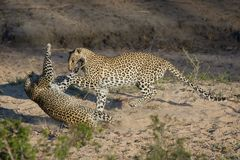 Two leopards play-fighting in a dry riverbed. A horizontal, full length, colour photo of two leopards, Panthera pardus, play-fighting in side light in a Royalty Free Stock Photos