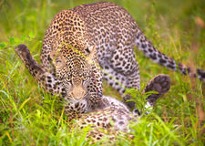 Two Leopards playing in savannah Royalty Free Stock Photography
