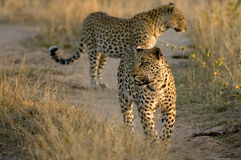 Two Leopards Walking Stock Photo