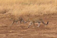 Two leopards walking in the savannah. Leopard walking in the savannah looking for a prey in Serengeti Stock Photo
