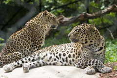 Two leopards. Two young leopards relaxing in a zoological park Royalty Free Stock Photography