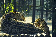 Two leopards in the zoo royalty free stock photo