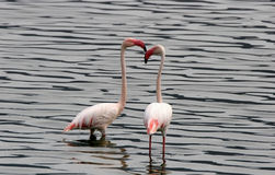 Two Lesser Flamingos Royalty Free Stock Images