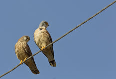 Lesser Kestrels Looking at Same Direction. Two lesser kestrels on electric wire are looking at the same direction Royalty Free Stock Photo