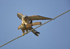 Mating Lesser Kestrels. Two lesser kestrels are mating on electric wire stock photos