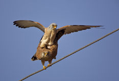 Mating Lesser Kestrels. Two lesser kestrels are mating on electric wire Royalty Free Stock Image