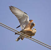 Mating Lesser Kestrels royalty free stock images