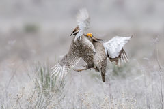 Two lesser prairie chickens fighting Royalty Free Stock Photo