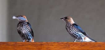 Two Lesser Striped swallows, one holding a feather in its beak, Cecropsis abyssinica, photographed at Sabi Sands, South Africa royalty free stock photos