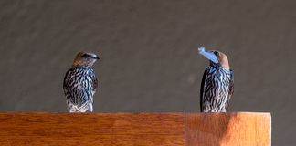 Two Lesser Striped swallows, one holding a feather in its beak, Cecropsis abyssinica, photographed at Sabi Sands, South Africa. Two Lesser Striped swallows, one stock photo