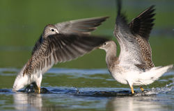 Two lesser yellowlegs. (Tringa flavipes), Jamaica Bay Wildlife Refuge, New York Royalty Free Stock Photography