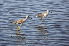Two lesser yellowlegs wading in a pond, Merritt Island, Florida. Pair of lesser yellowlegs, Tringa flavipes, wading in shallow water at Merritt Island National stock photography