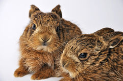 Two leverets. Young leverets, or European hare (Lepus europaeus), also known as the brown hare stock photography