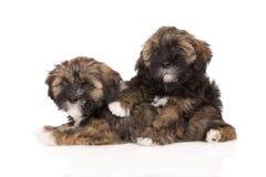 Two lhasa apso puppies. Lhasa apso puppies on white Stock Photo