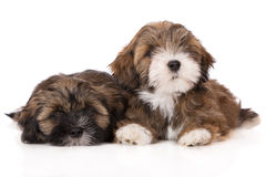 Two lhasa apso puppies on white Stock Photography