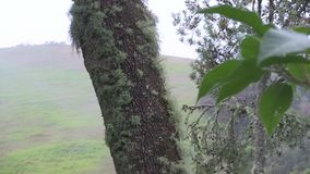 Two lichen covered trees in front of a hillside. This region of Australia, sustains an indigenous ecology named `dry rainforest`, that is World Heritage listed stock footage