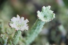 Two Lichens [#2005-6] Royalty Free Stock Image