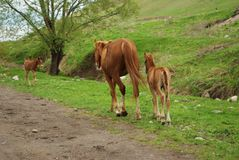 Two light-chestnut horses royalty free stock photography
