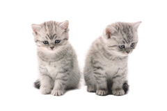 Two light gray similar kittens. Two sitting light gray similar kittens isolated on white background royalty free stock images