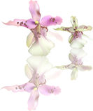 Two light lilac orchid blooms with reflection Royalty Free Stock Photo