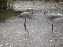Two light pink flamings standing in the shallow water. they are facing each other. With small beaks. Two light pink flamings,with a long, slender neck, standing stock image